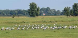 Kraniche sind auch jetzt schon Dauergäste am Kubitzer Bodden. Im Frühjahr und Herbst fressen sie sich Kraft an für die langen Reisen zu den Winterquartieren im Süden und auf der Rückreise zu ihren Sommerplätzen in Skandinavien.