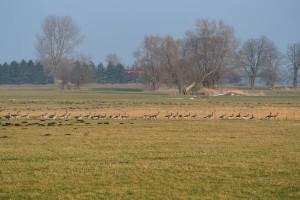 Gänse bevölkern die Weiden im Frühjahr und Herbst auf ihrer Wanderung.