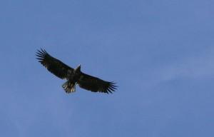 Auch Seeadler sind seit 1996 wieder heimisch auf dem Vilm. Mit einer Flügelspannweite von zweieinhalb Metern gleiten Sie über die Landschaft am Rügenschen Bodden.