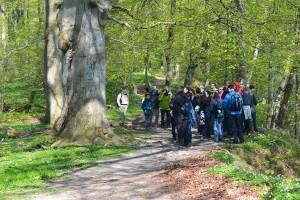 Urwald auf Vilm: In Würde gealterte Baumpersönlichkeiten, vor Jahren gestorbene Eichen, dazwischen Nachwuchs aus Buchensämlingen. Die Exkursionsteilnehmer zücken ihre Kameras.