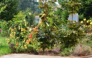 Tomatenüberraschung in unserem Garten: Diese volle Pracht haben wir wir an einem Buchenstrauch festgebunden, damit sie nicht unter der Last der Früchte zusammenbricht.