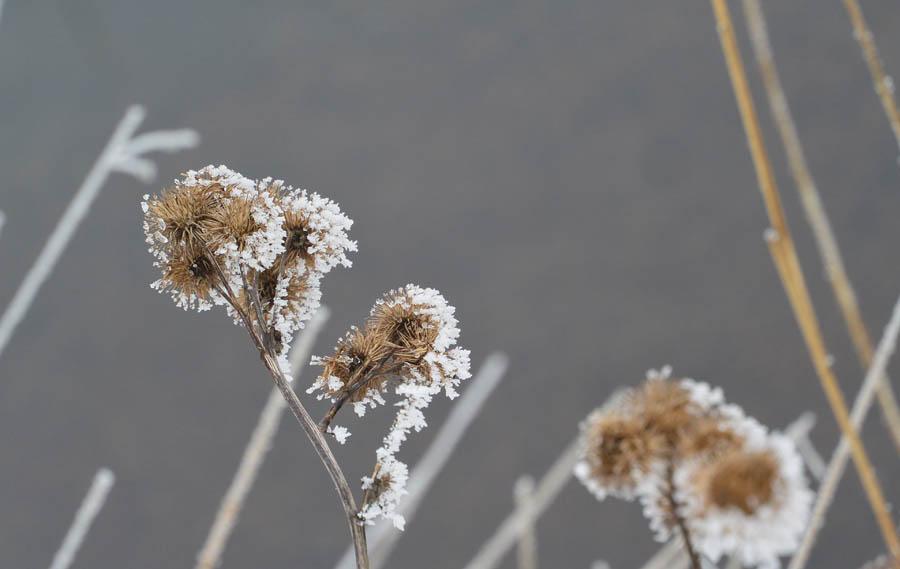 2015_02_06__Kubitzer Bodden_09_ Disteln im Frost_wp