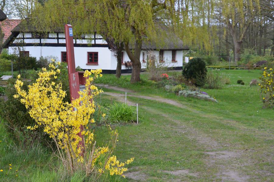 2015_04_28_Kubitzer Bodden_47_Reetdachhaus mit Forsythienblühte_wp