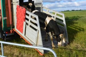 Für die Tiere war es Stress pur – erst aus dem Stall in den Viehtransporter verfrachtet, dann plötzlich in die ungewohnte Freiheit entlassen.