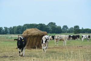 Bis zum Winter bleiben die Rinder auf der Weide. Dann kommen sie zurück in den Stall. Ein Teil wird für die Nachzucht eingesetzt, der andere kommt – tut und leid – in den Schlachthof.